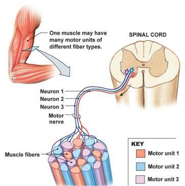 spieren centraal zenuwstelsel